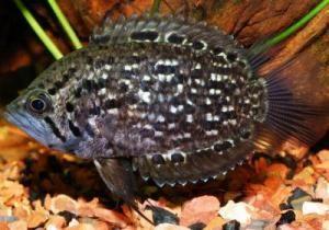 Риба-обрубок (поліцентрус)