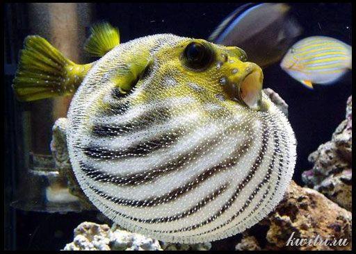 Риба-куля, або тетраодон