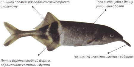 Риба-слон