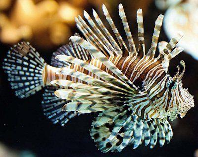Риба-зебра