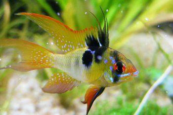 Рибка апістограмма метелик