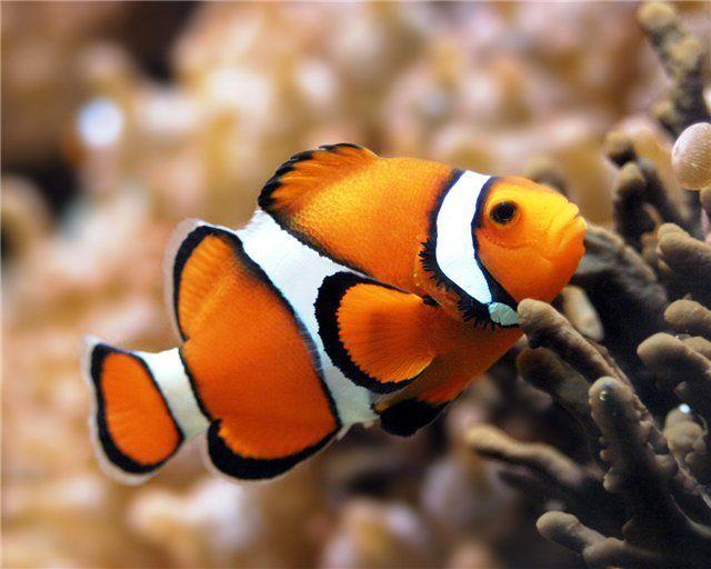 Рибка-клоун