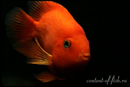 Рибка червоний папуга