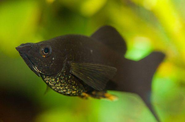 Рибка в чорній вуалі або просто чорна моллінезія