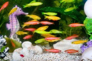 Рибки даніо в акваріумі