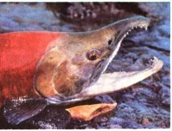 Риби-мандрівниці