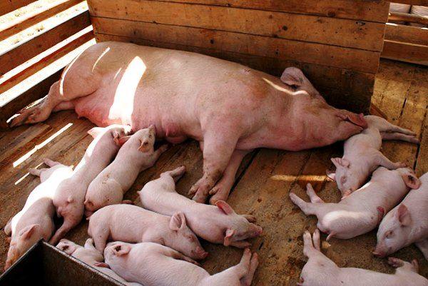 З чого почати домашнє свинарство