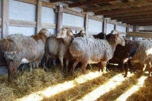Найбільша вівця в світі - гиссарськая