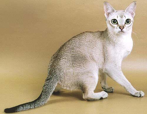 Сінгапуру - найменша кішка