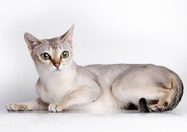 Найменша Сінгапурська кішка