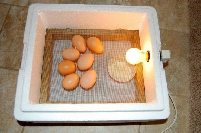 Яйця в пінопластовому інкубаторі
