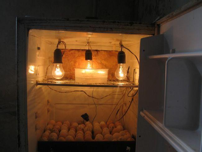 Яйця в інкубаторі з холодильника