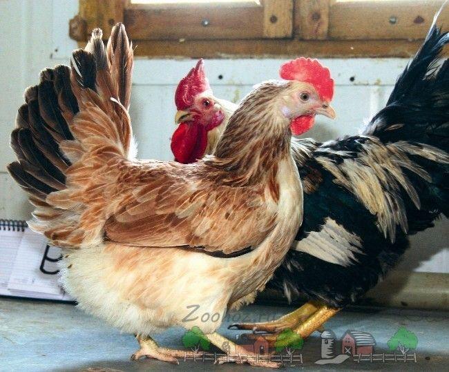 Молоді кури м`ясо-яєчної породи фото