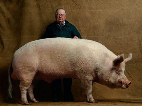 Велика свинка і її господар
