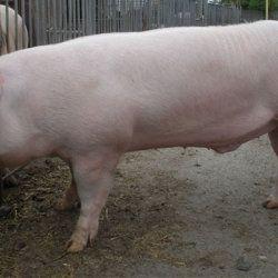 Англійська велика біла свинка