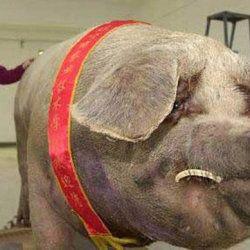 Чунь-Чунь - китайська гігантська свиня