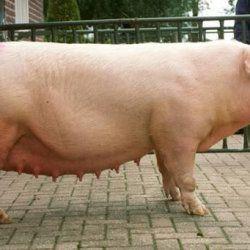 Ландрас - велика порода свиней