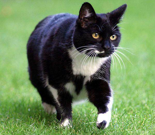 кішка Сібіл