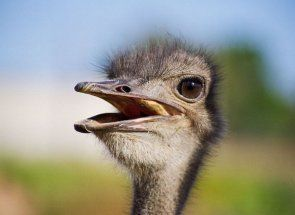 Найцікавіші факти про страусів
