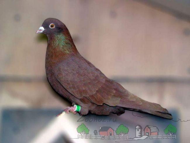 Найвідоміші і популярні високольотні голуби