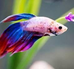 Найкрасивіші акваріумні рибки