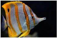 риба-метелик