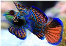 риба Мандаринка