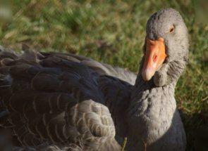 Найбільші домашні гуси - знайомимося з тулузької породою