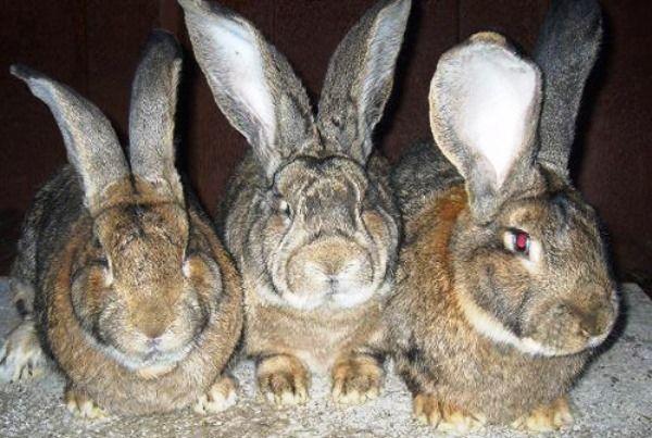 Найбільші і масивні кролики фландр і їх опис