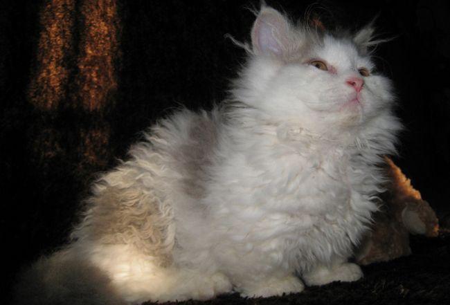 Ламбкін кішка-ягня