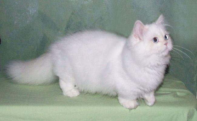 Наполеон кішка