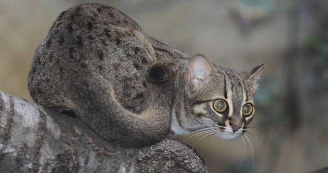 Іржава кішка, найменша дика кішка