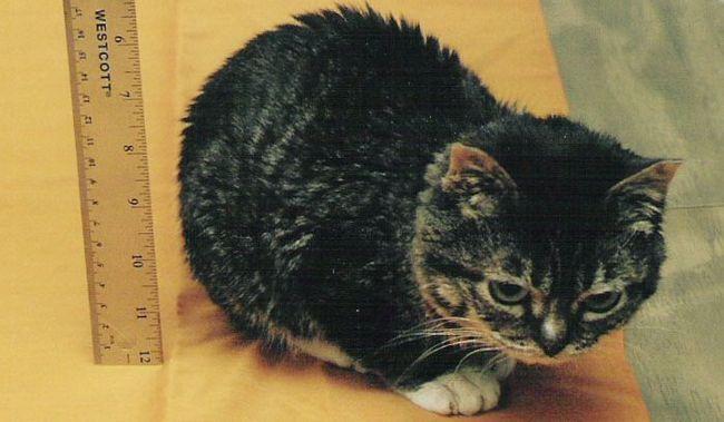 Вічний кошеня Тинкер Тієї