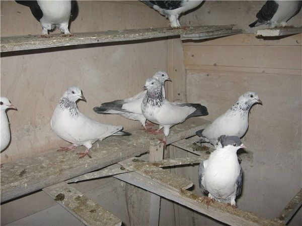 Іранські представники голубиних