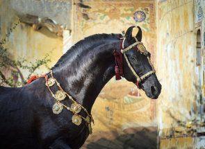 Найпрекрасніші коні світу: хто вони?