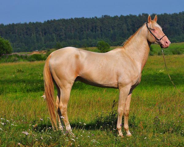 Ахалтекинский кінь лавандової масті