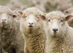 Найрізноманітніші породи овець
