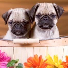 Найспокійніші породи собак