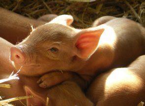 Найефективніший спосіб відгодівлі свиней і що це таке