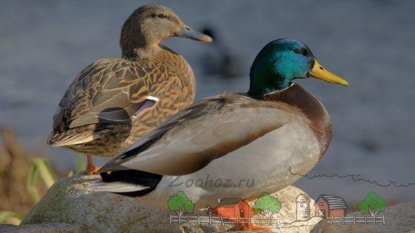 Санітари річок і озер - дикі качки