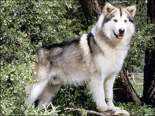 Schutzhund: короткий перелік проблем при облаивании собакою