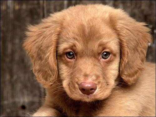 Schutzhund: підпорядкування собаки в захисній службі