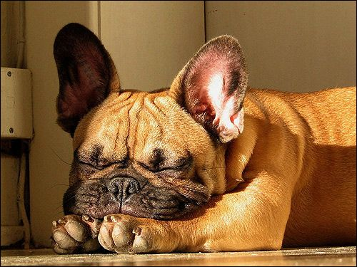 Schutzhund: посадка собаки і облаивание