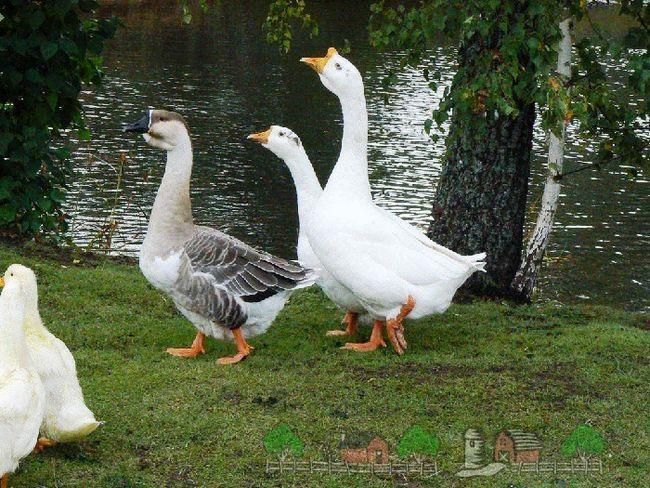 Секрети гусячого ваги і як збільшити масу птиці