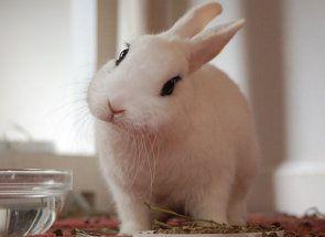 Секрети утримання декоративних кроликів в квартирі