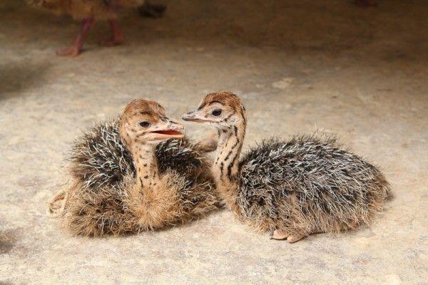 Два маленьких страусёнка сидять на підлозі