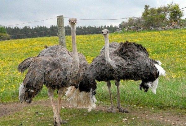 Дорослі страуси на вигулі