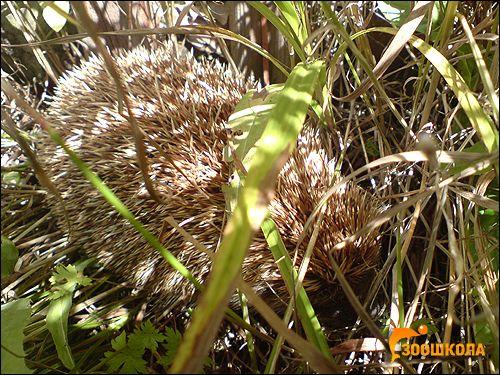Їжакові (erinaceidae)
