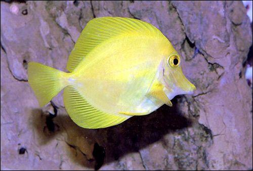 Сімейство хірурговие, або риби-хірурги (acanthuridae)