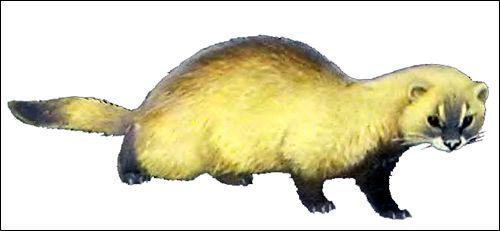 Степовий тхір (mustela eversmanni)